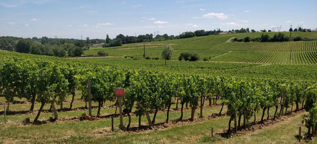 La viticulture en Gironde est devenue une monoculture intensive